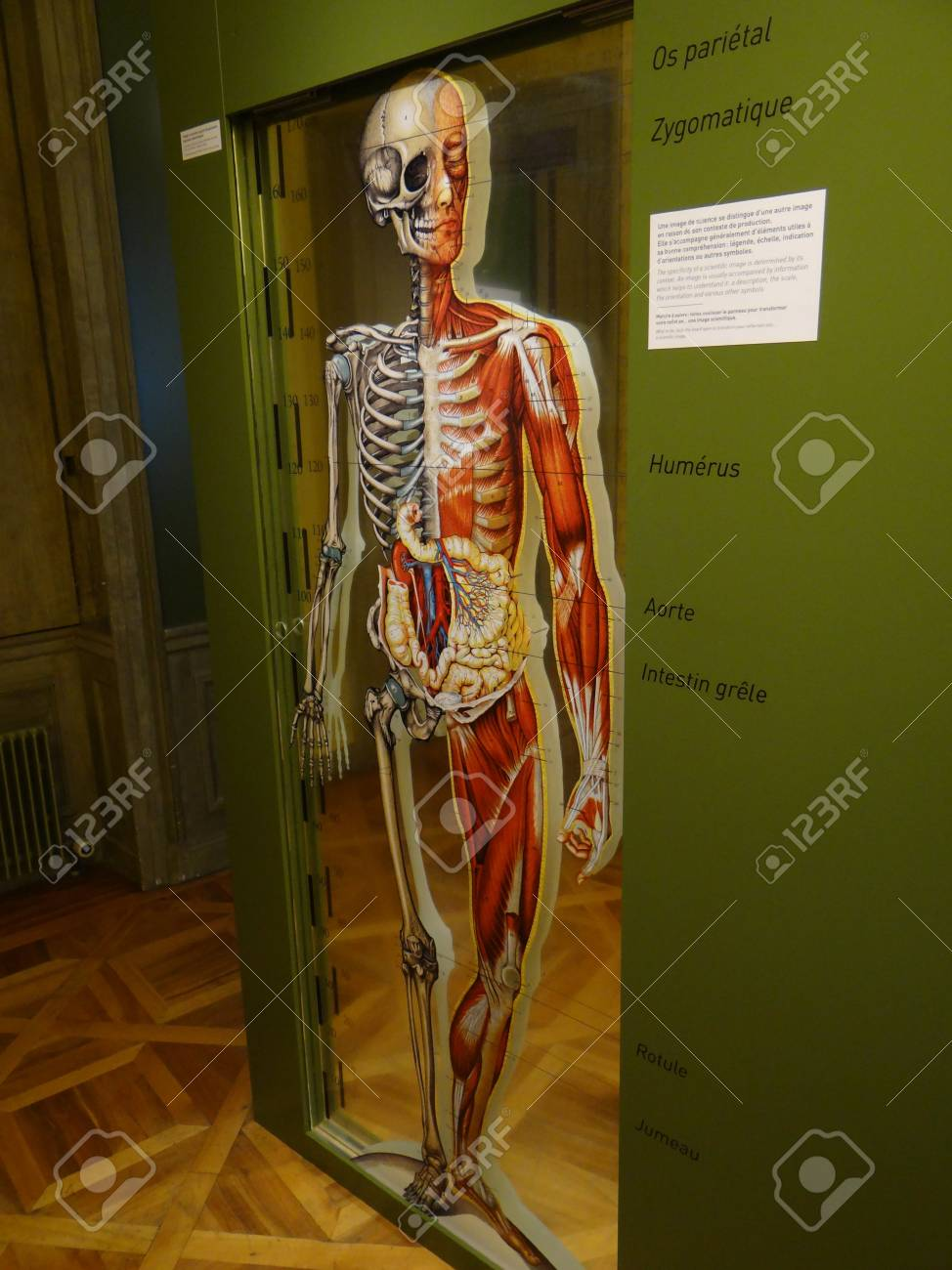 GENEVA, SWITZERLAND - FEB 24, 2018 - Human Anatomy Display At ...