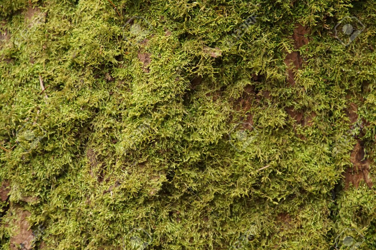 Lichen And Moss On Trunk Of Big Leaf Maple Acer Macrophyllum