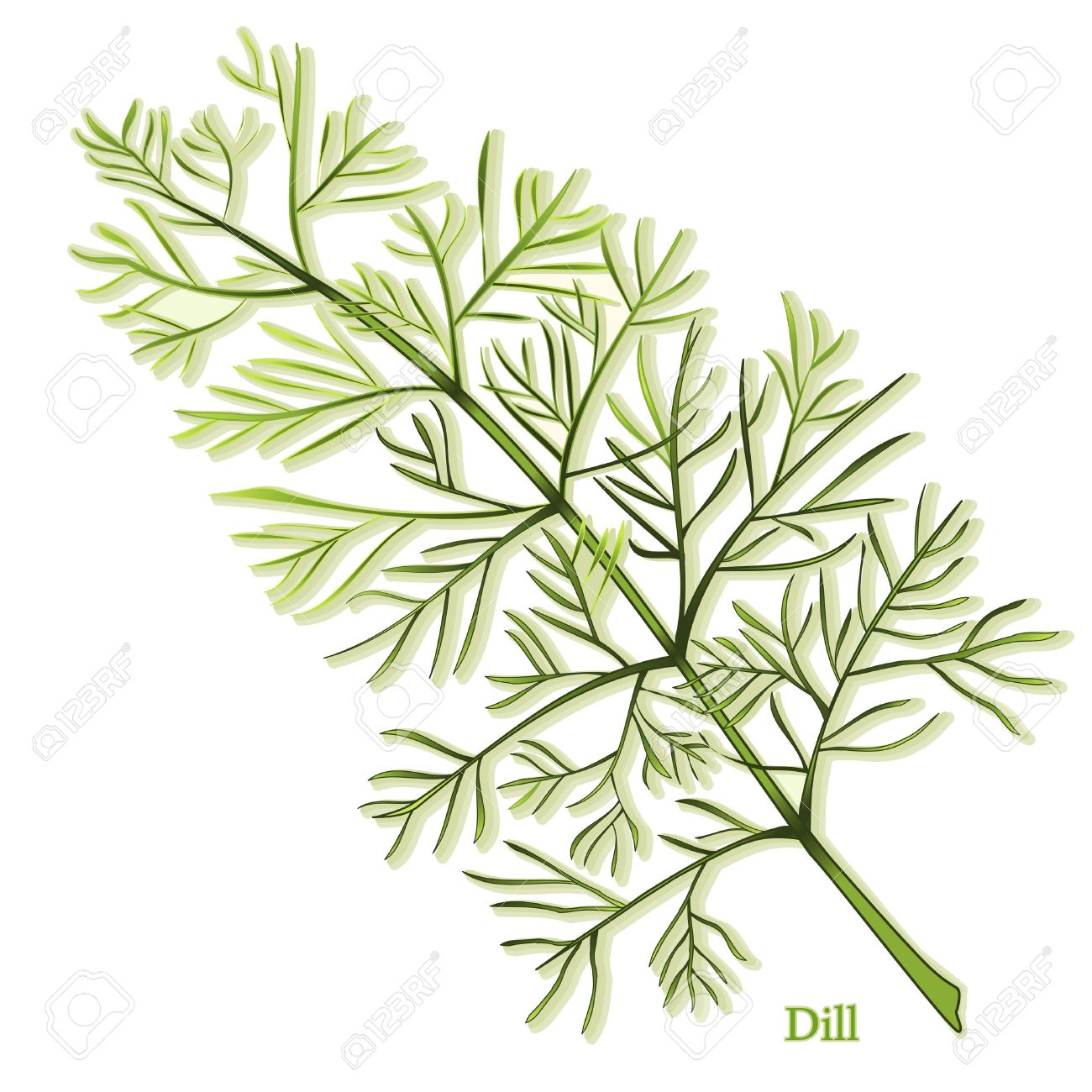 Dill Herb, thin, aromatic leaves used to season foods and  pickles. Also called Dill weed. Stock Vector - 12136892