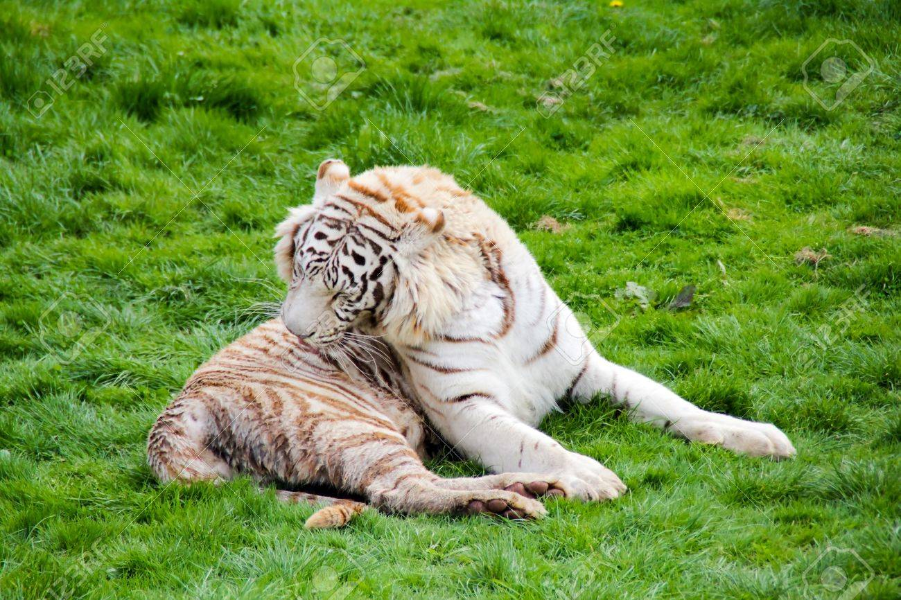White tiger is washing on the grass Stock Photo - 13255373