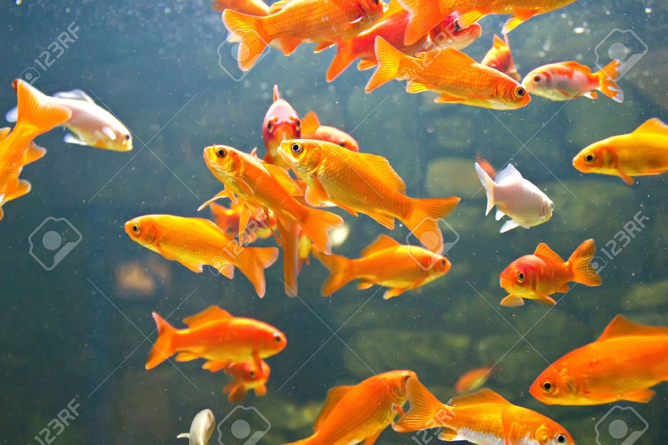 Red and gold fishes in aquarium Stock Photo - 15021664