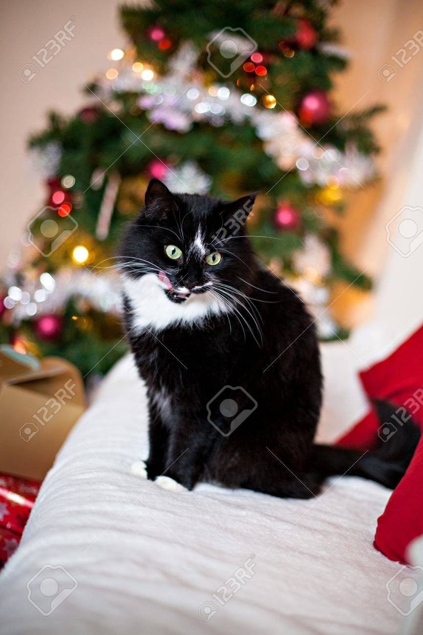 black and white norwegian forest cat with christmas decorations christmas tree gifts stock photo