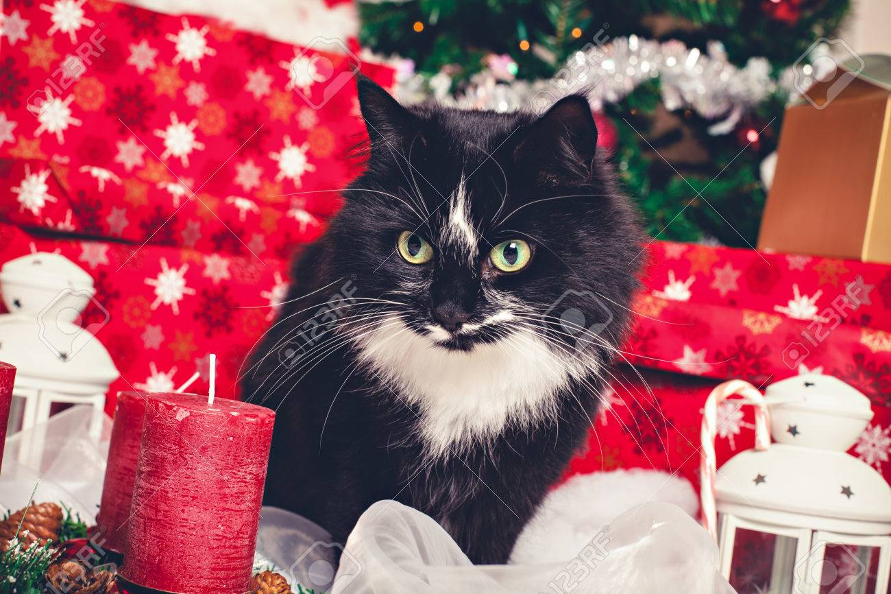 Black And White Norwegian Forest Cat With Christmas Decorations ...