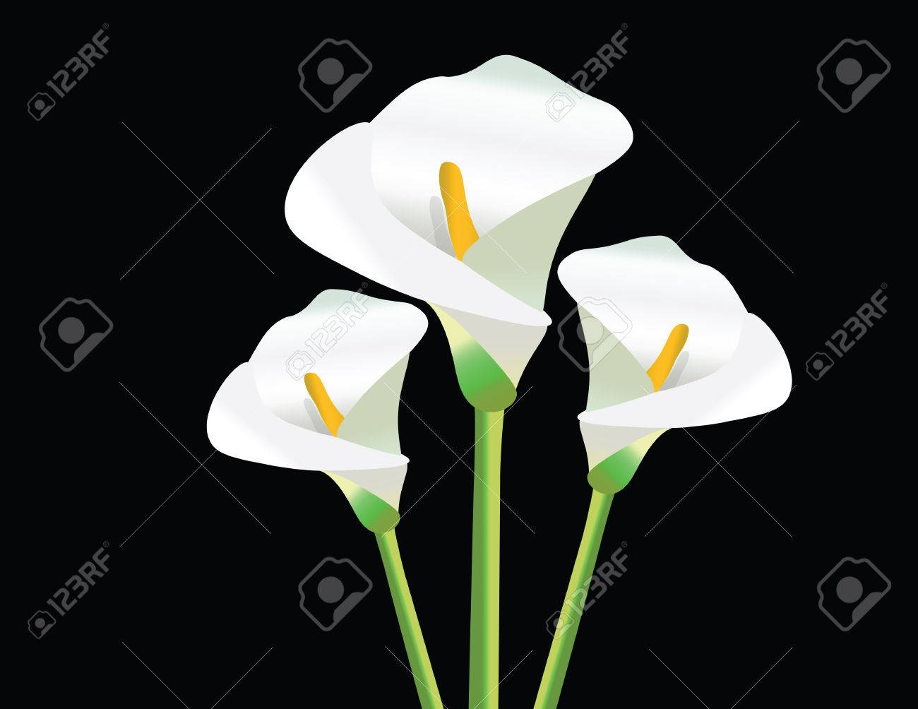 white calla lily flowers on black background vector stock vector