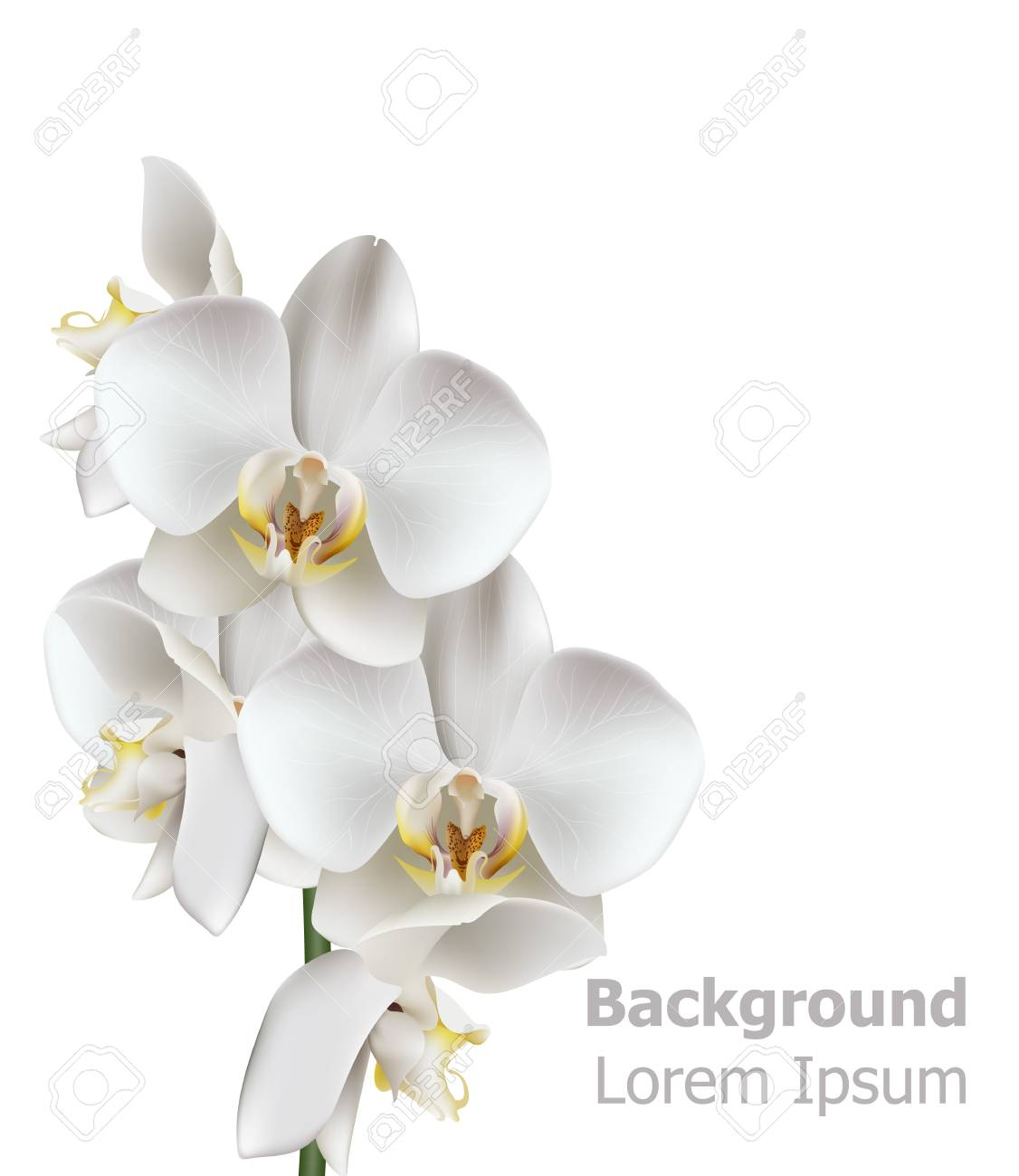 Realistic White Orchid Flowers Vector 3d Illustration Isolated