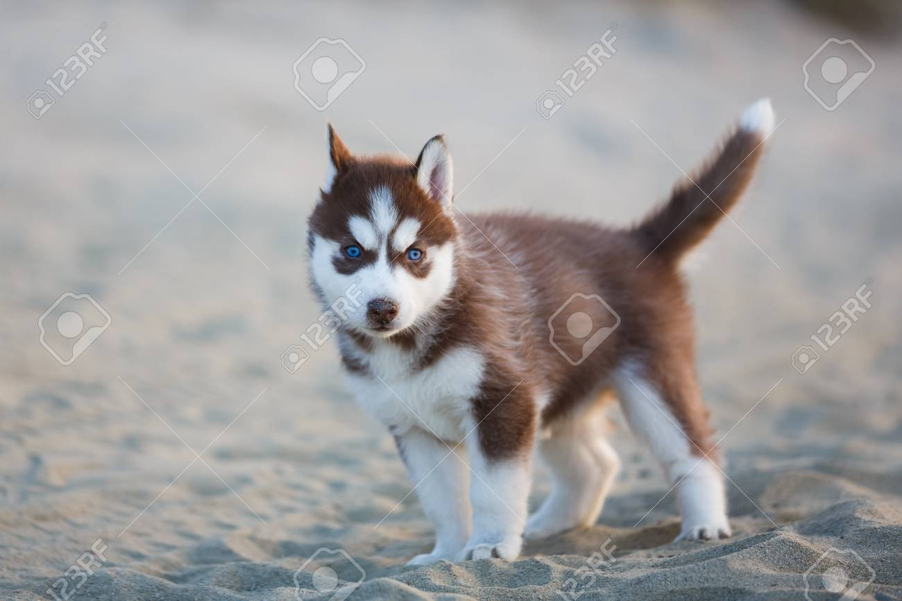 Portrait Of The Red Husky Puppy On The Beach Stock Photo Picture