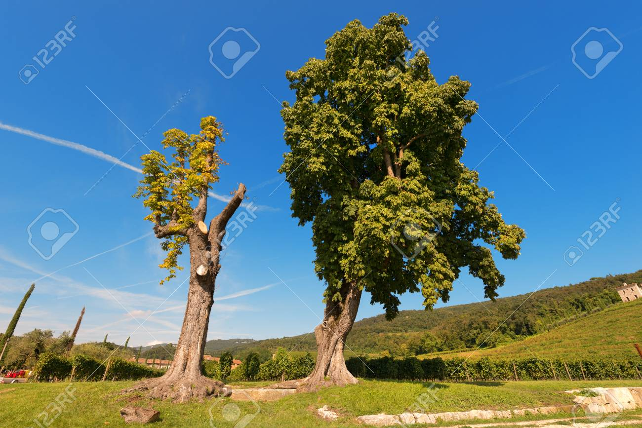 Two Chestnut Trees Sweet Chestnut Only One Pruned One With