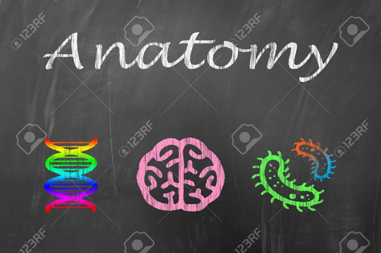 Lección De Anatomía En La Pizarra De La Escuela O El Concepto De ...