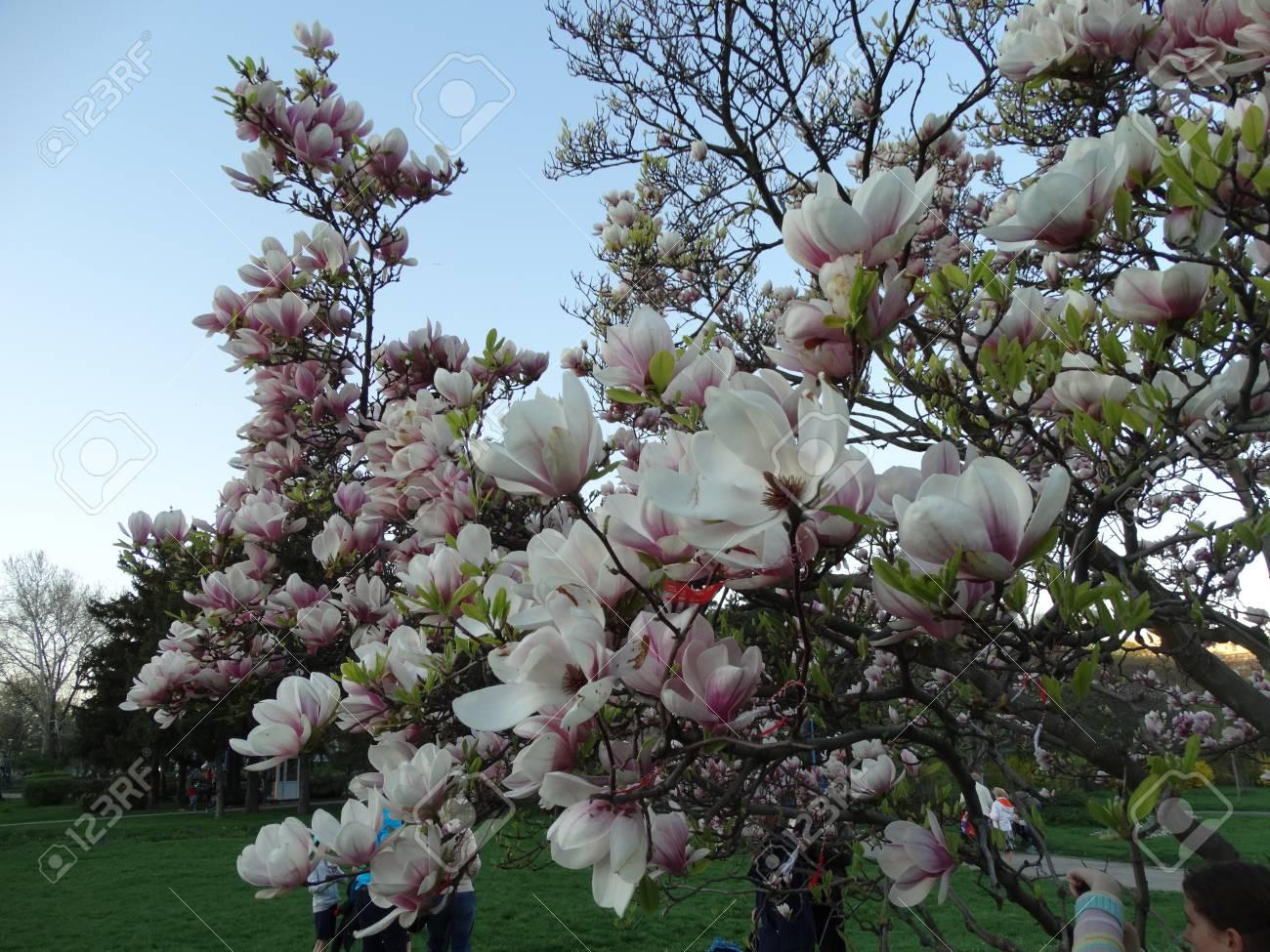 Beautifull Magnolia Tree In Circus Parkbucharestromania Stock