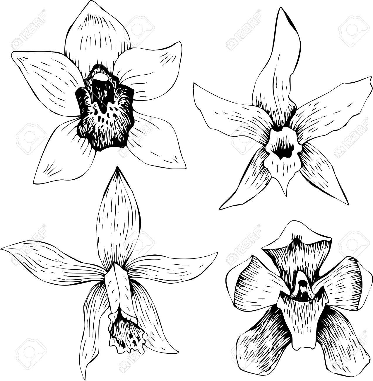 Best Orchid Vector Line Art Picture Photovine Fl Highly Detailed Hand Drawn Flower