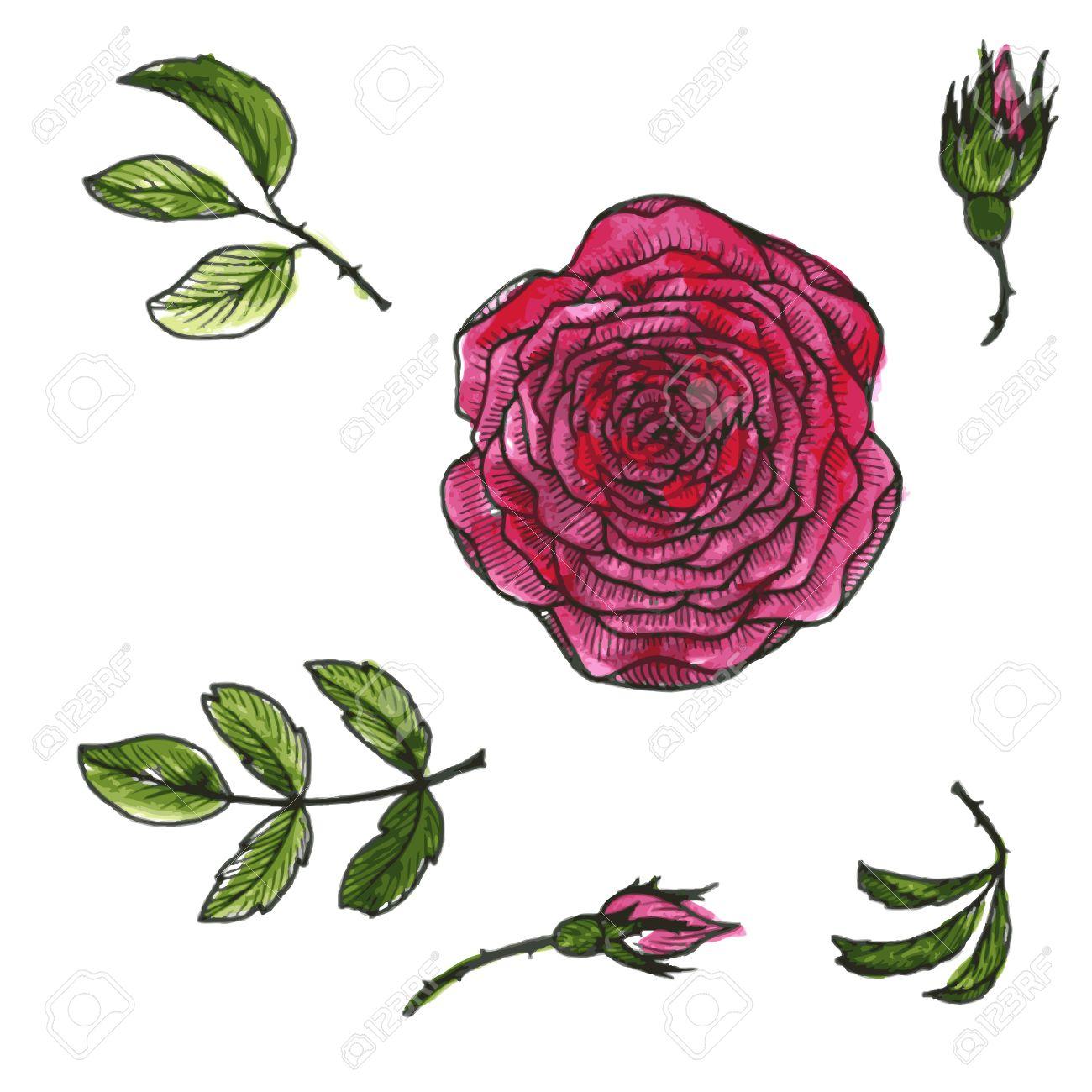Ilustración Vectorial Conjunto De Flores Y Hojas De Rosas Rojas De