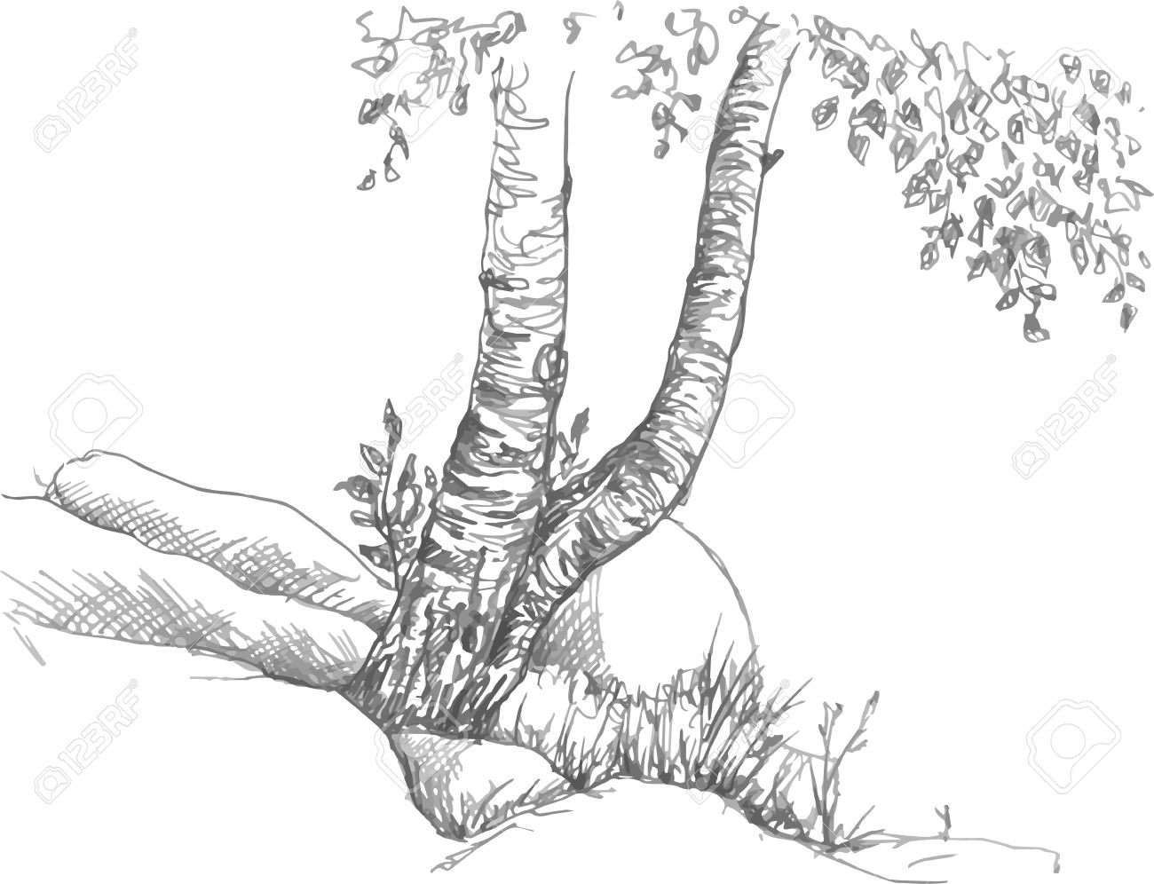Birch trunks and rocks drawing by pencil sketch of wild nature forest sketch