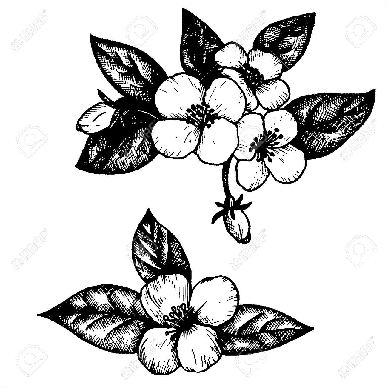 Jasmine Flowers And Leaves Hand Drawn Vintage Vector Illustration