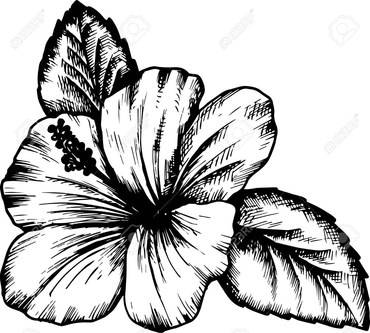 Hibiscus flower hand drawn vintage vector illustration royalty free hibiscus flower hand drawn vintage vector illustration stock vector 51909068 izmirmasajfo
