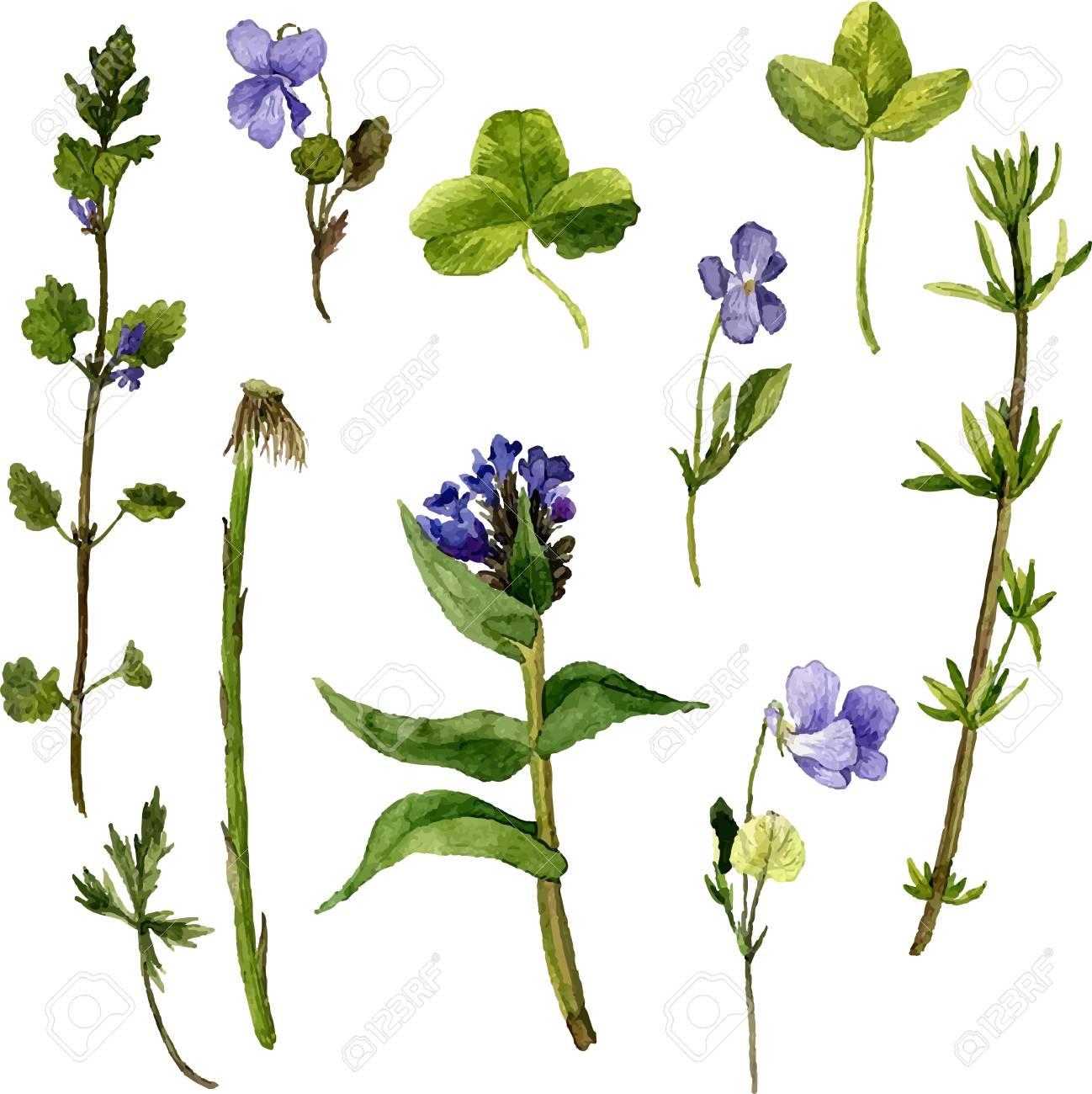 Vektor-Set Von Aquarell Wilden Blumen, Kräuter Und Blätter, Gemalt ...