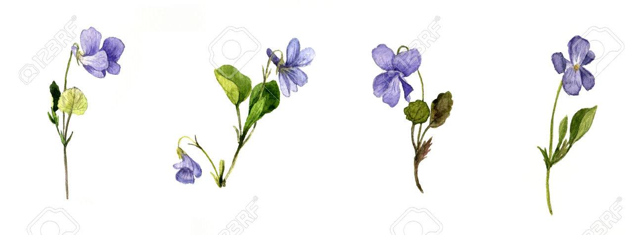 Watercolor Drawing Wild Blue Flowers Plants Of Violets Painted Herbs Botanical Illustration