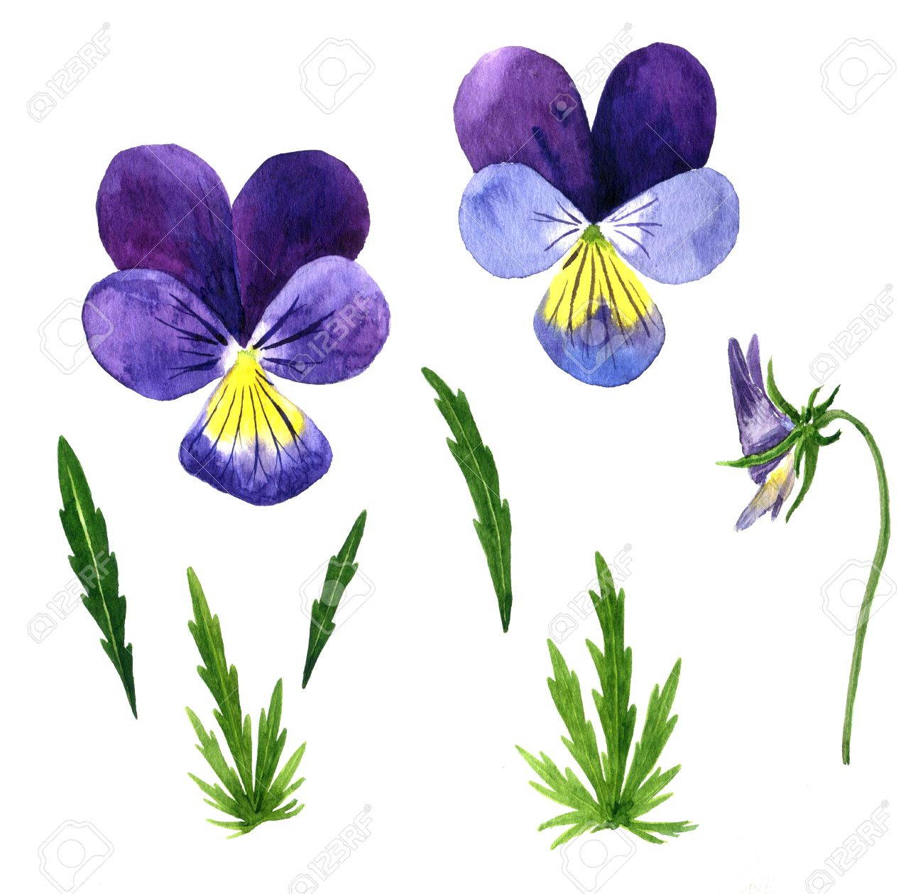 Set Of Watercolor Drawing Violet Flowers Buds And Leaves Pansies Painted Wild Plants Botanical Illustration In Vintage Style Color Drawing Floral Set Hand Drawn Illustration Banco De Imagens Royalty Free Ilustracoes Imagens E