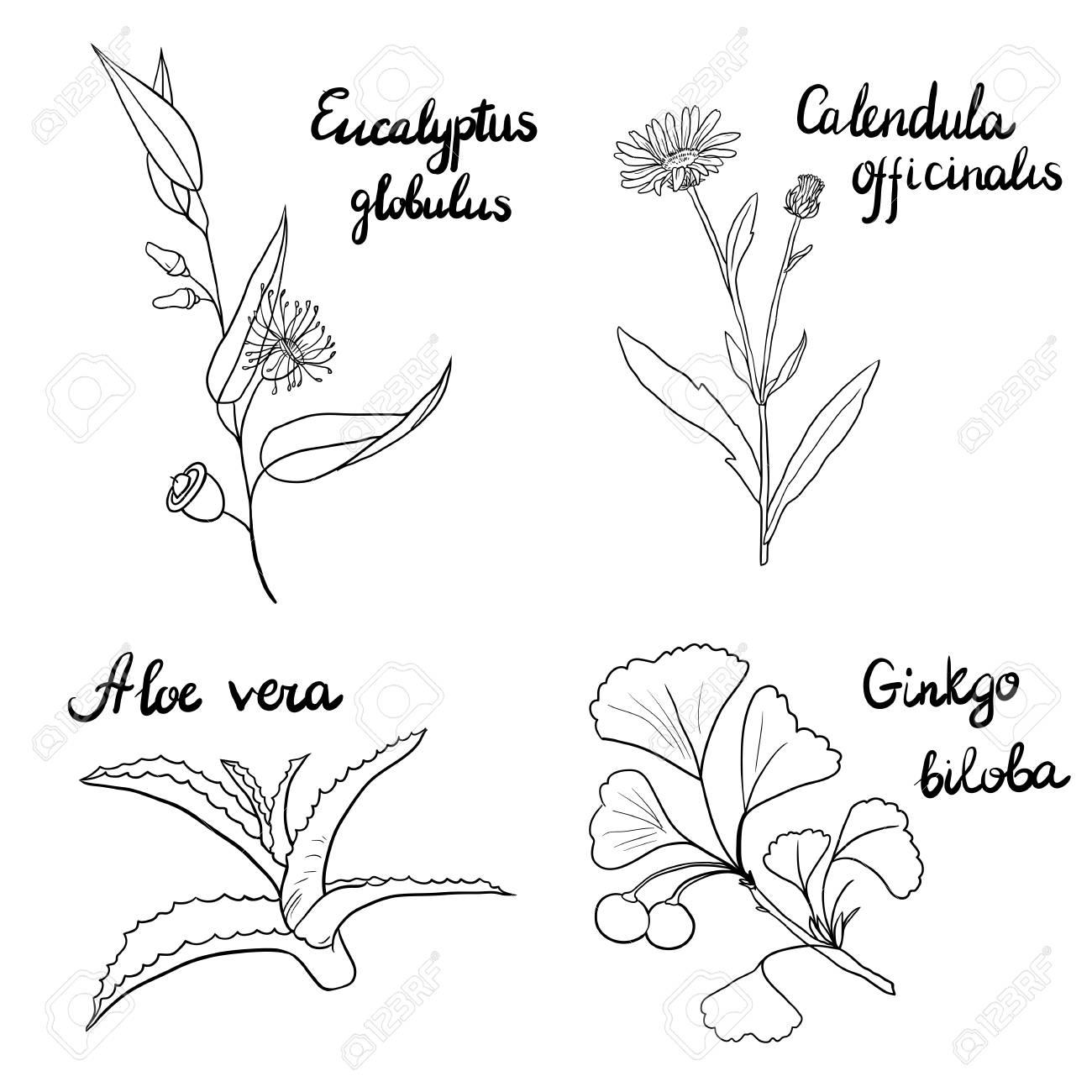 Vector Conjunto De Dibujado A Mano Hierbas Medicinales, Ramas De ...