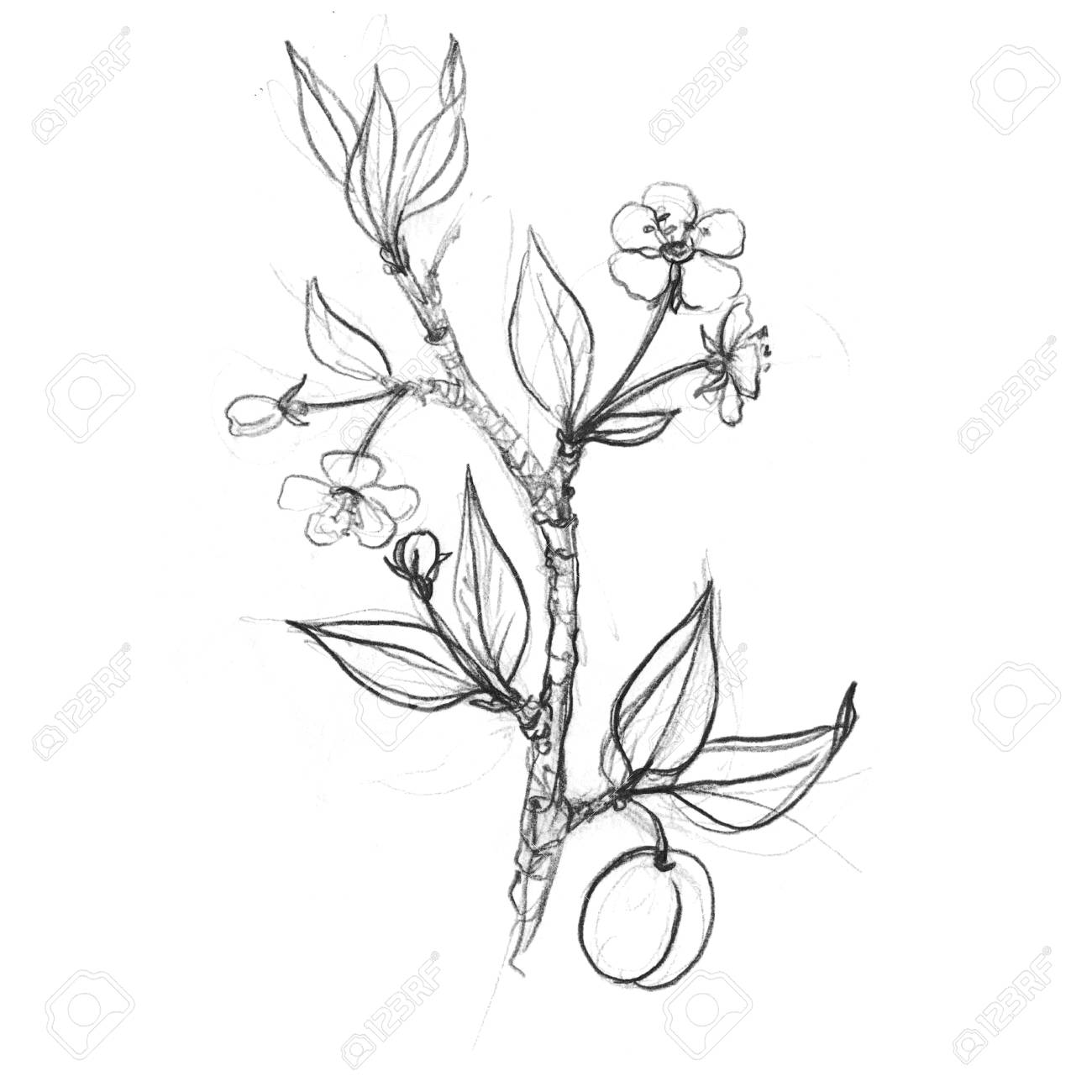 Fruit tree branches with flowers leaves and plums stock photo 72057624