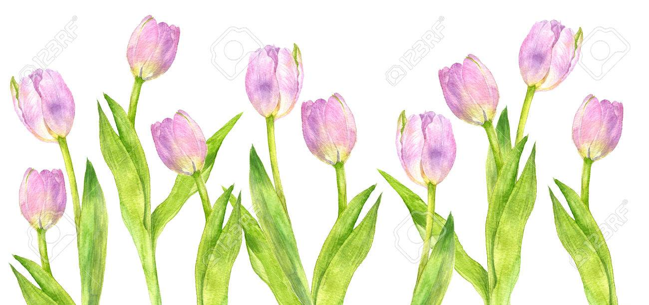 watercolor pink tulips with green leaves drawing at white paper