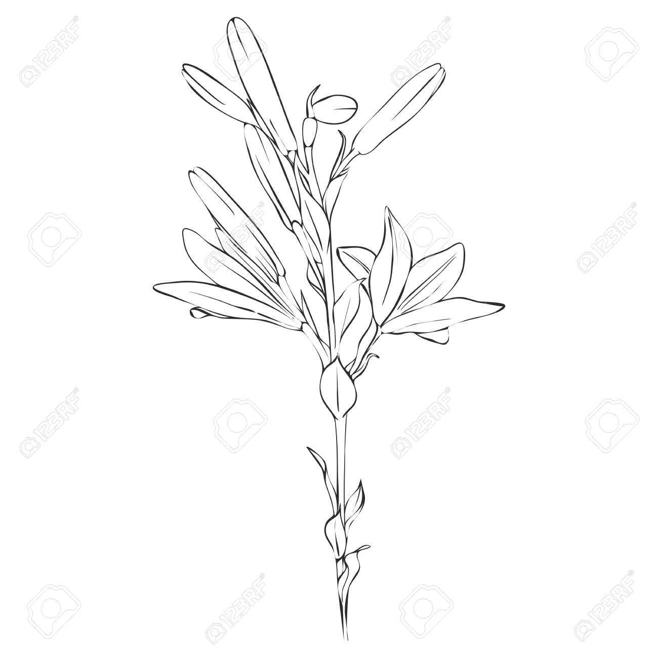 Vector Drawing Lily Flower And Buds Isolated Floral Element