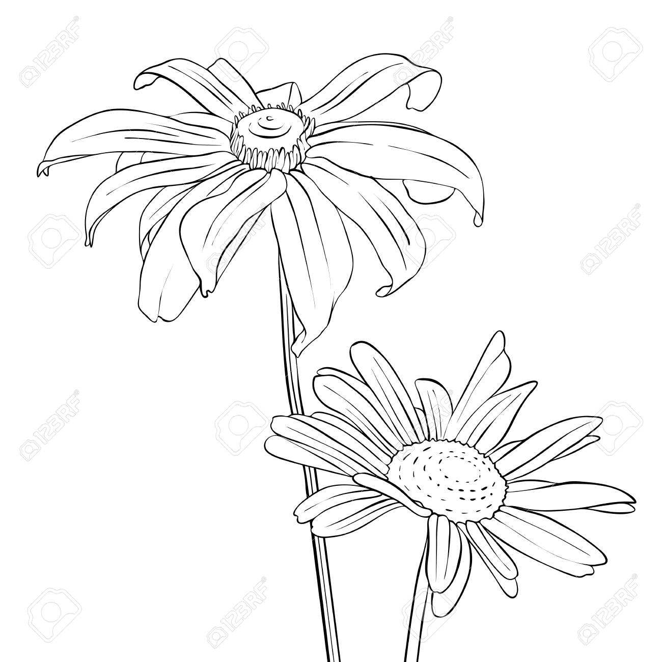 Vector Drawing Flowers Of Daisy Stock Photo Picture And Royalty