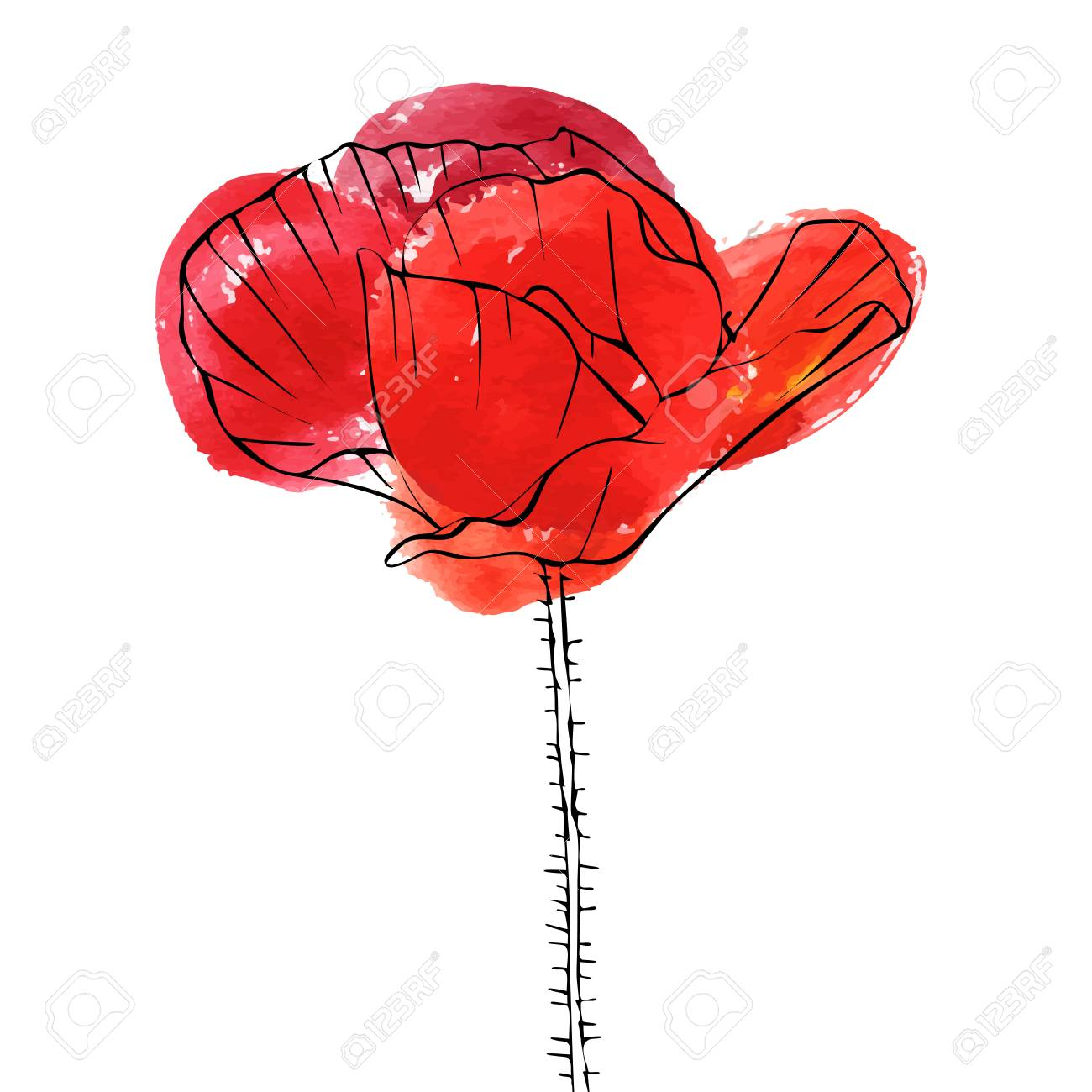 Vector Drawing Flower Of Poppy On White Background Royalty Free