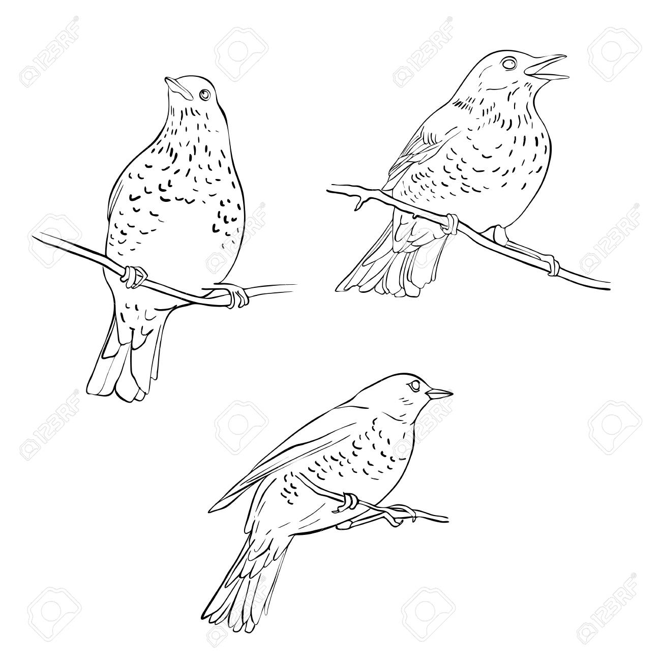 Vector Line Drawing Birds Sitting At Tree Branch Sketch Of Thrush Royalty Free Cliparts Vectors And Stock Illustration Image 118382118