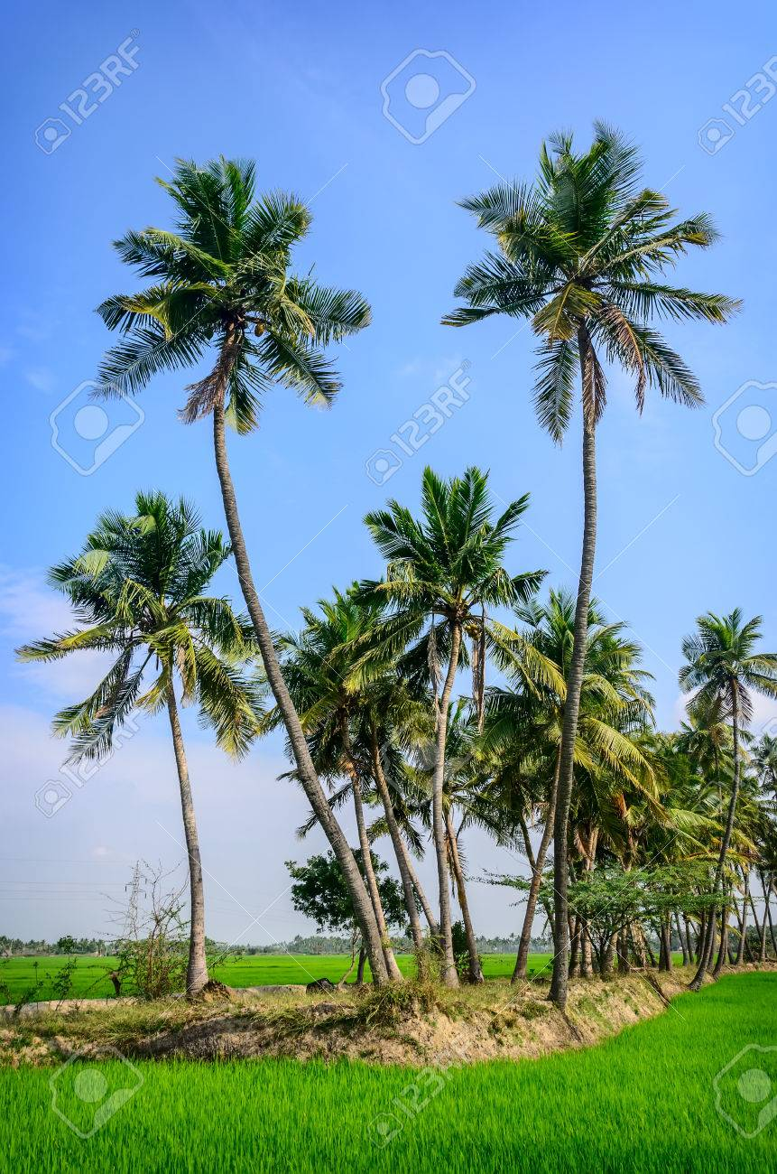Palm trees on rice field  Tamil Nadu, India