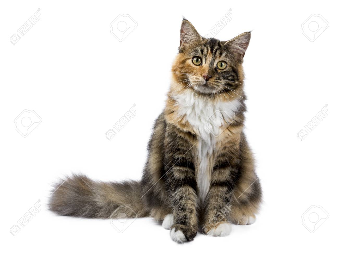 Young Maine Coon cat / kitten sitting isolated on white background - 81070587