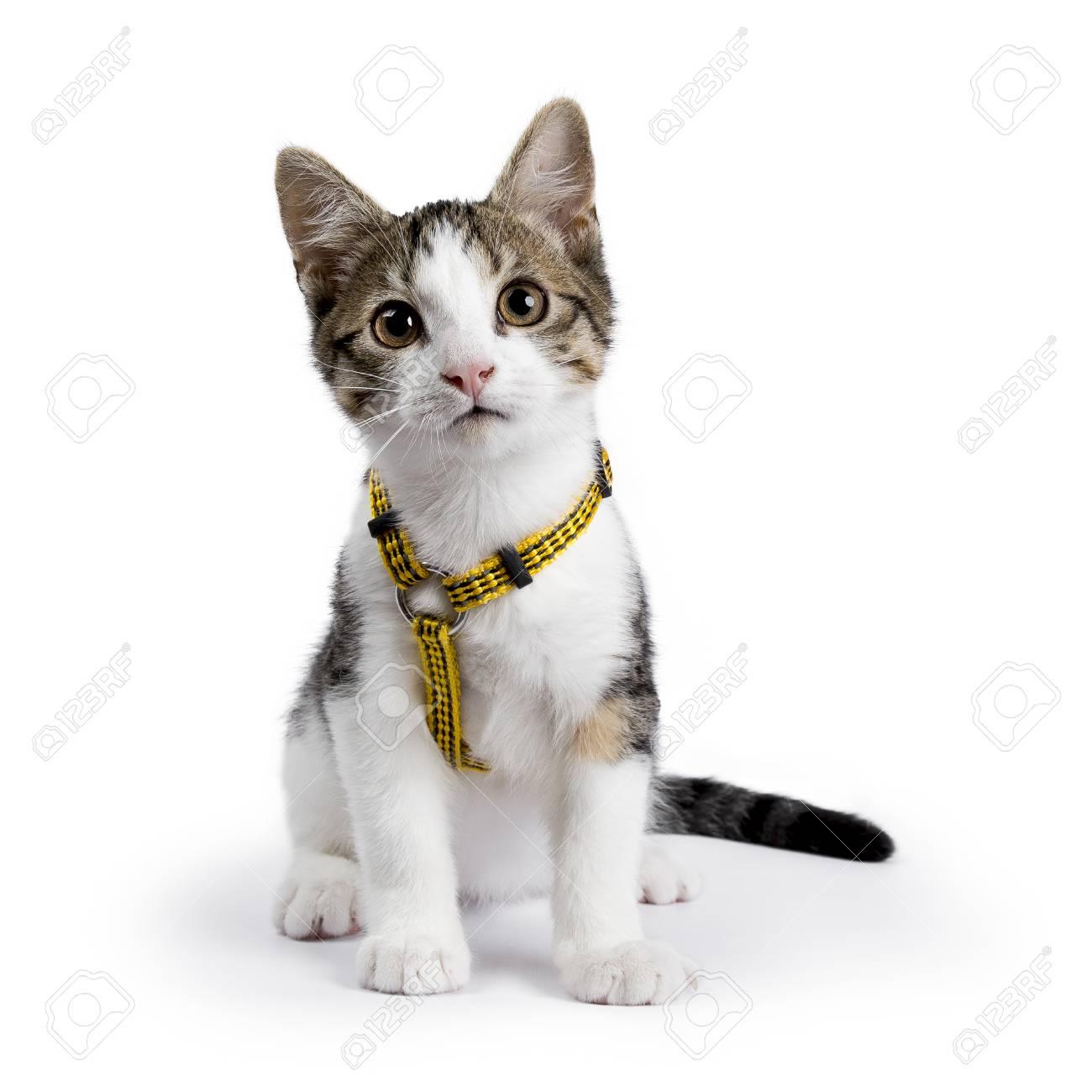 European shorthair kitten / cat sitting on white background wearing yellow harness - 83370244