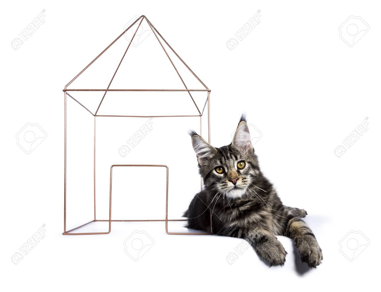 Black Tabby Maine Coon Cat Kitten Laying With A Wire House Isolated ...