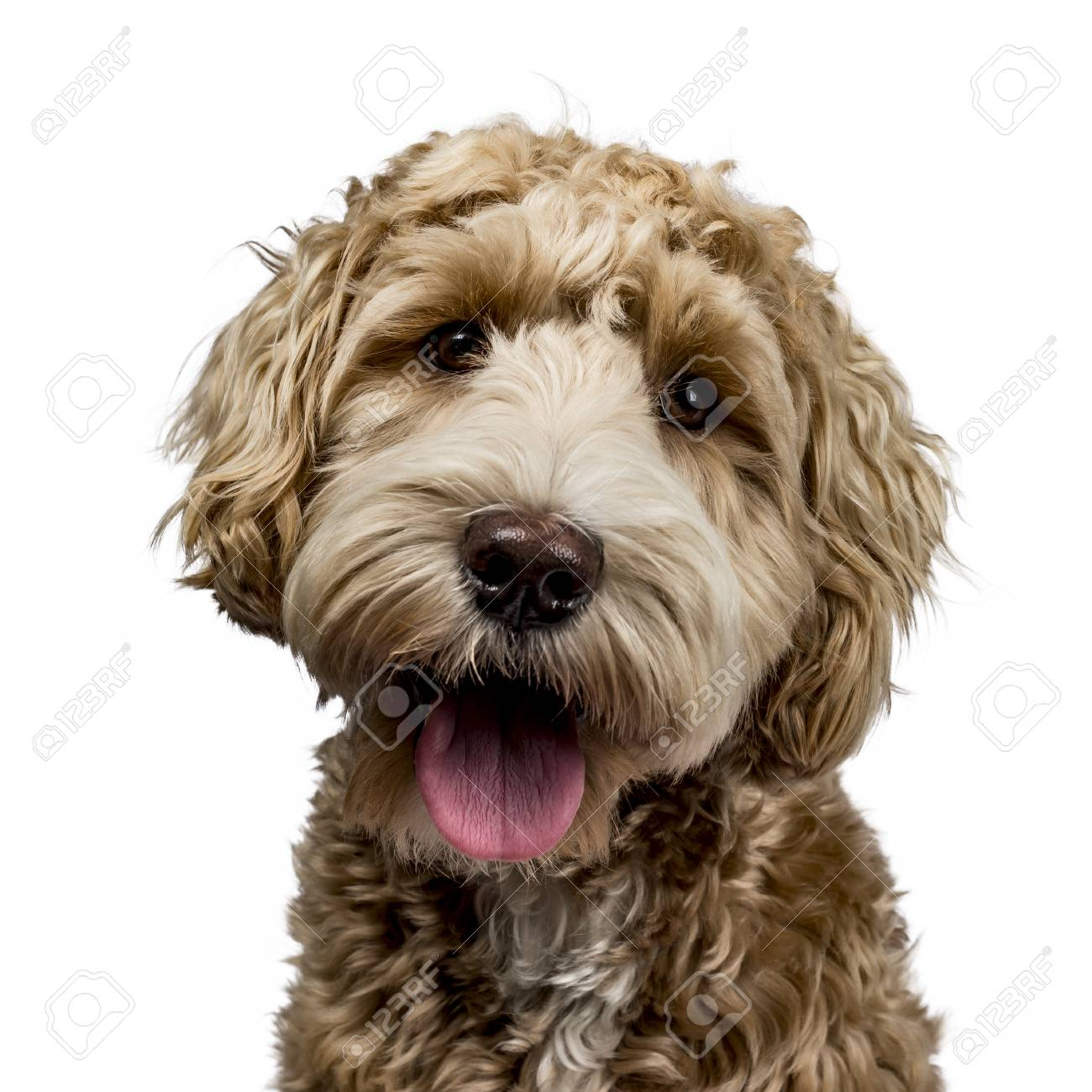 Head shot of golden Labradoodle with open mouth, looking straight at camera isolated on white background - 97556972