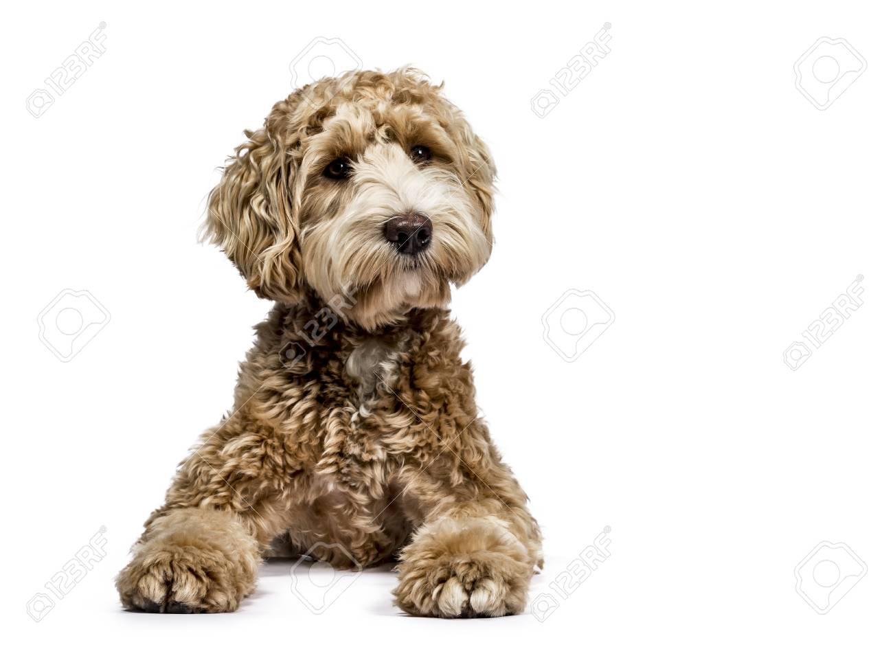 Golden Labradoodle laying down with closed mouth and sideways isolated on white background - 97586750