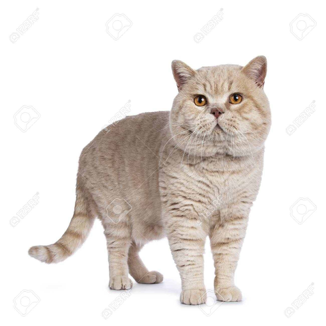 Impressive cream adult male British Shorthair cat standing isolated on white background - 100449345