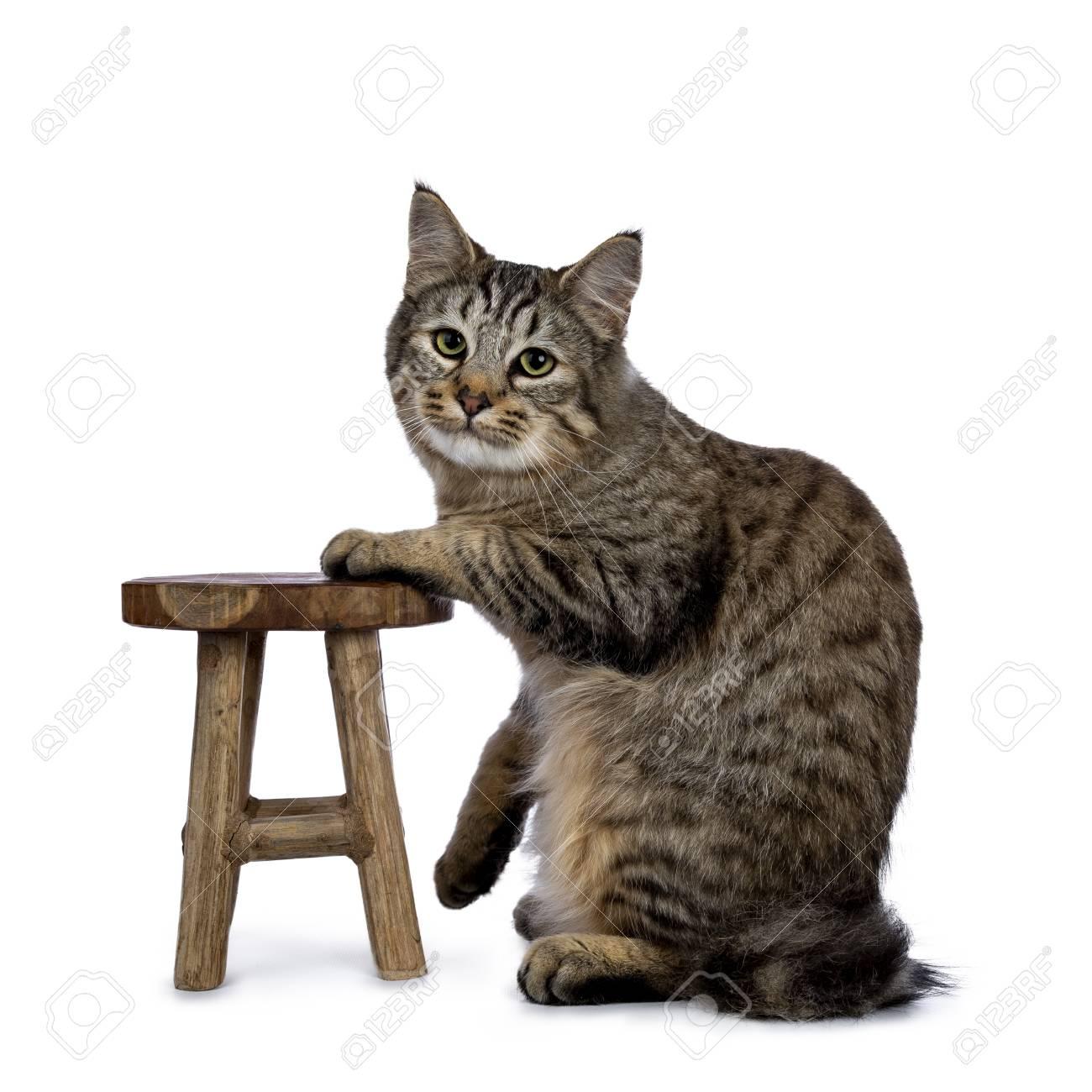 Pixie bob cat kitten sitting side ways isolated on white background