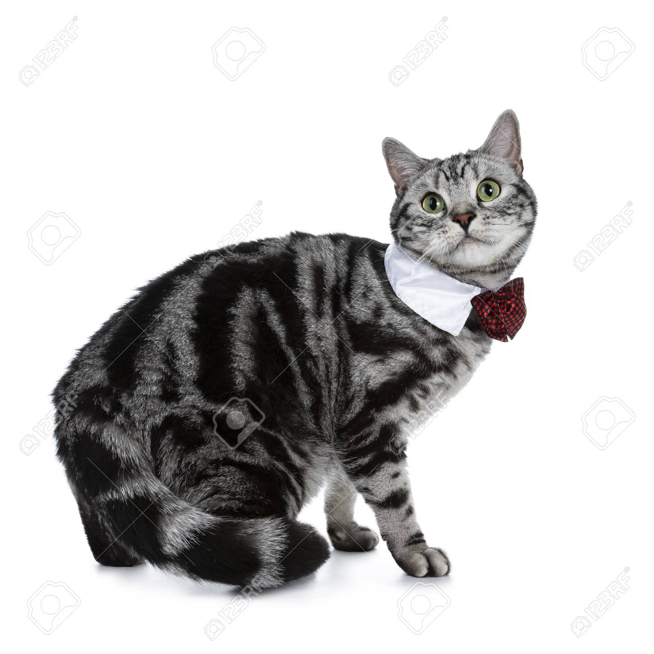 Handsome Black Silver Tabby British Shorthair Cat Walking On Stock Photo Picture And Royalty Free Image Image 103821962