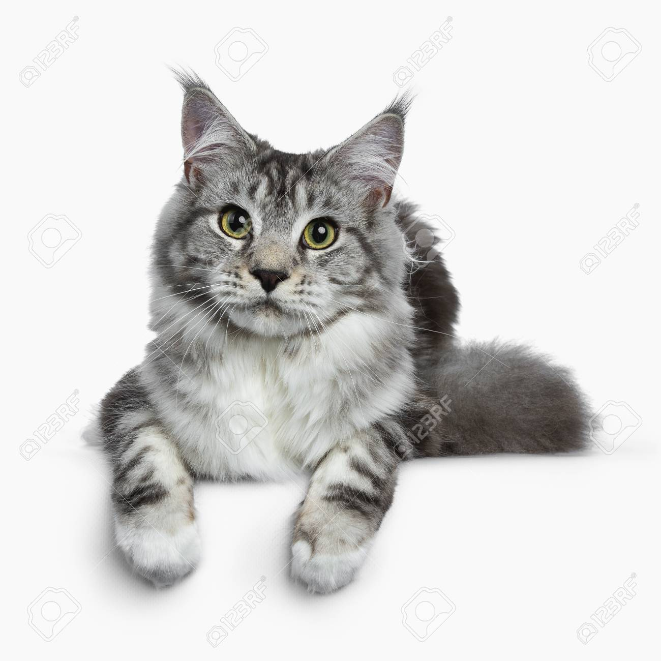 9bbc2d4dd0 Pretty young adult black silver tabby Coon cat laying down isolated on white  background