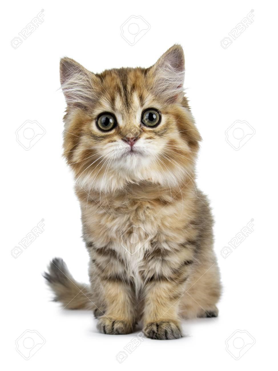 Nieuw Super Adorable Golden British Longhair Cat Kitten Sitting Facing JC-13