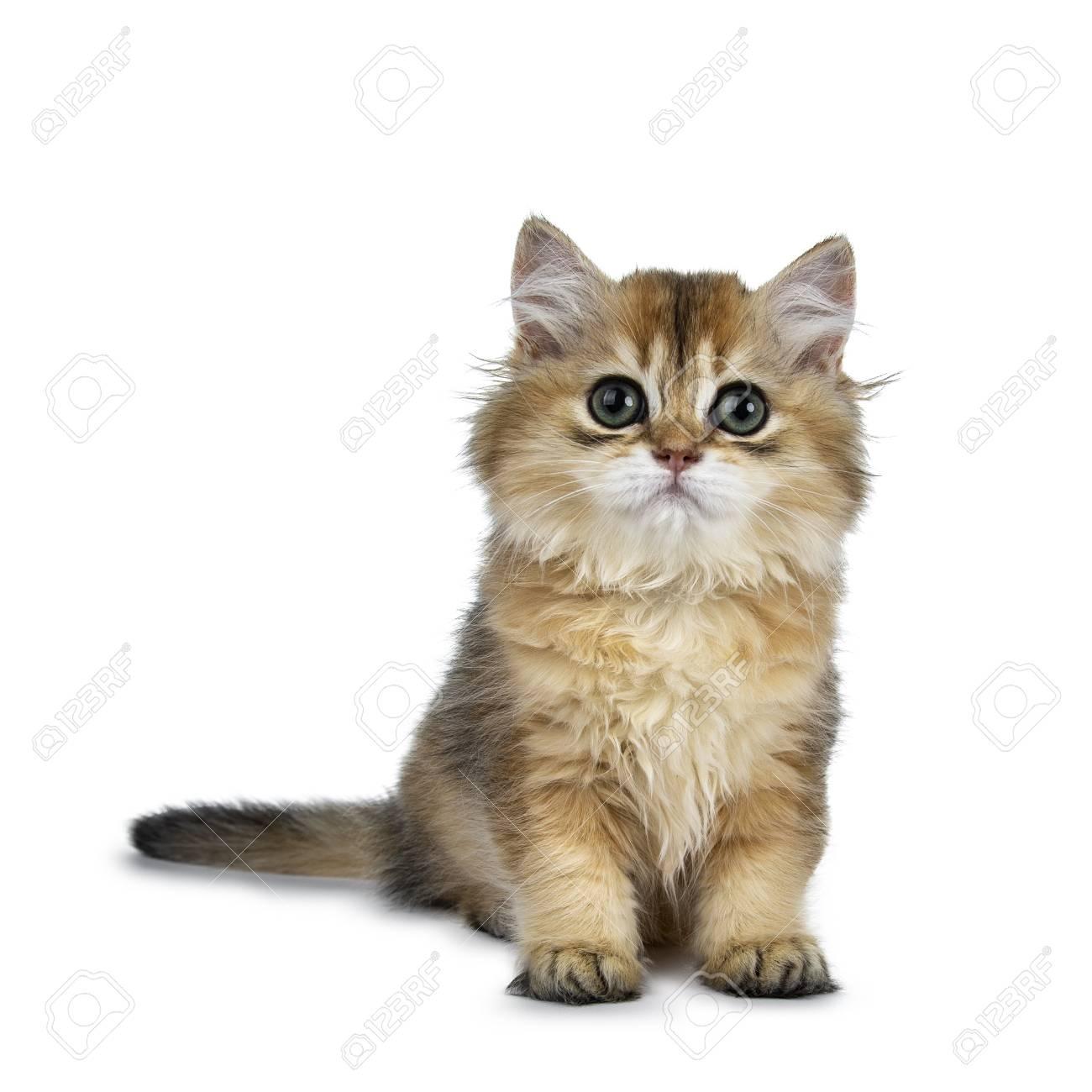 Excellent golden British Shorthair cat sitting in front, looking