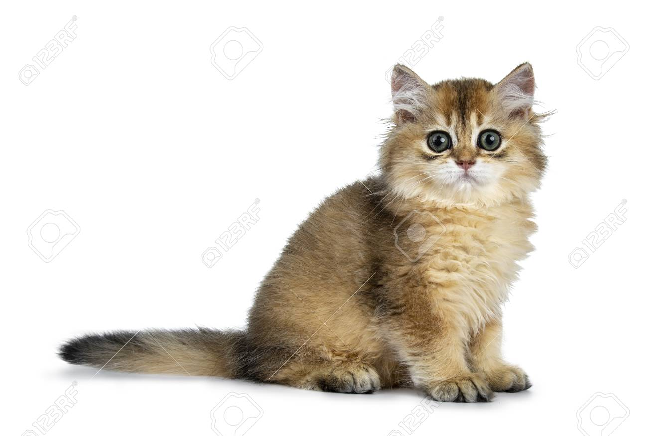 Excellent golden British Shorthair cat sitting on kitten, looking