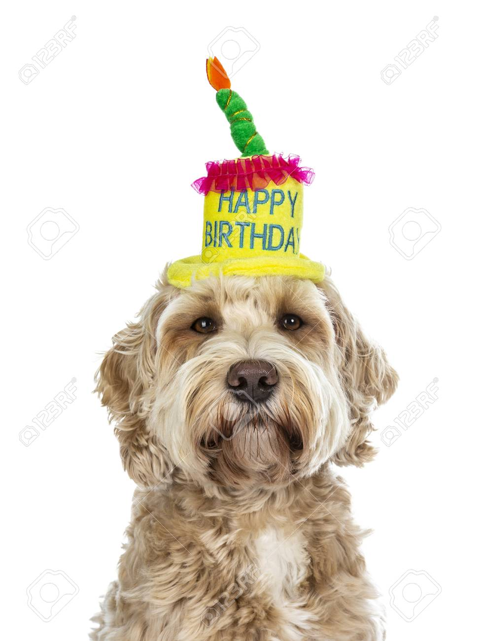 Head Shot Of Pretty Golden Adult Labradoodle Dog Wearing A Happy Birthday Cake Hat Looking Straight