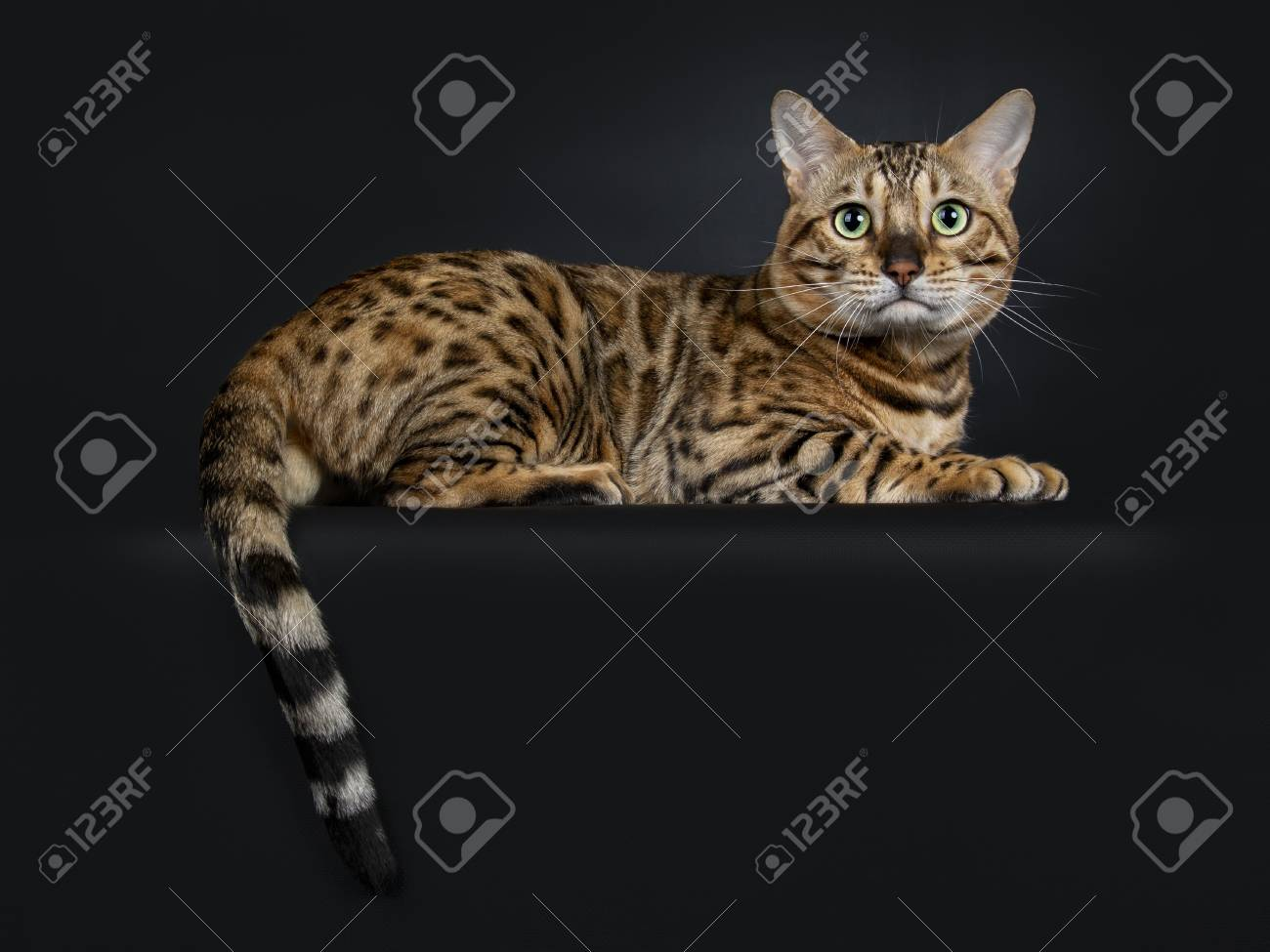 Handsome shiny young adult male Bengal cat, laying down with tail hanging  over edge looking