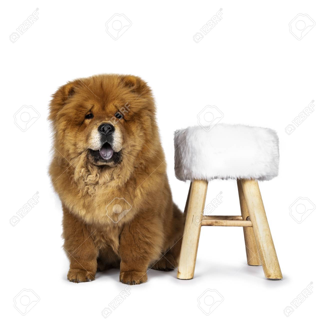 Cute fluffy Chow Chow puppy dog, sitting straight up facing front