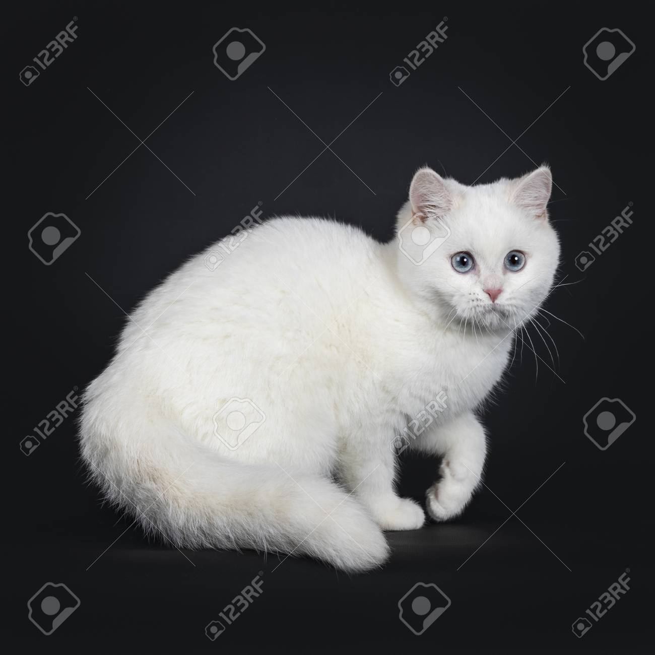 Cute Red Silver Shaded Cameo Point British Shorthair Standing Stock Photo Picture And Royalty Free Image Image 115690655