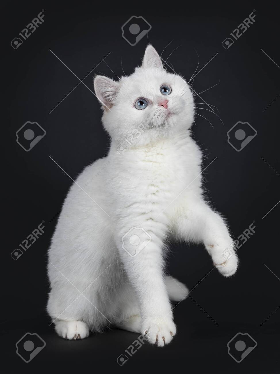 Cute Red Silver Shaded Cameo Point British Shorthair Sitting Stock Photo Picture And Royalty Free Image Image 115690660