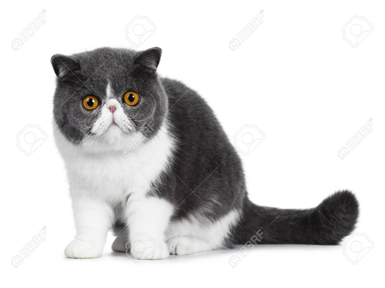 Cute blue with white young Exotic Shorthair cat, sitting side ways. Looking curious straight into a lens with amazing round orange eyes. Isolated on white background. Tail behind body. - 120032574