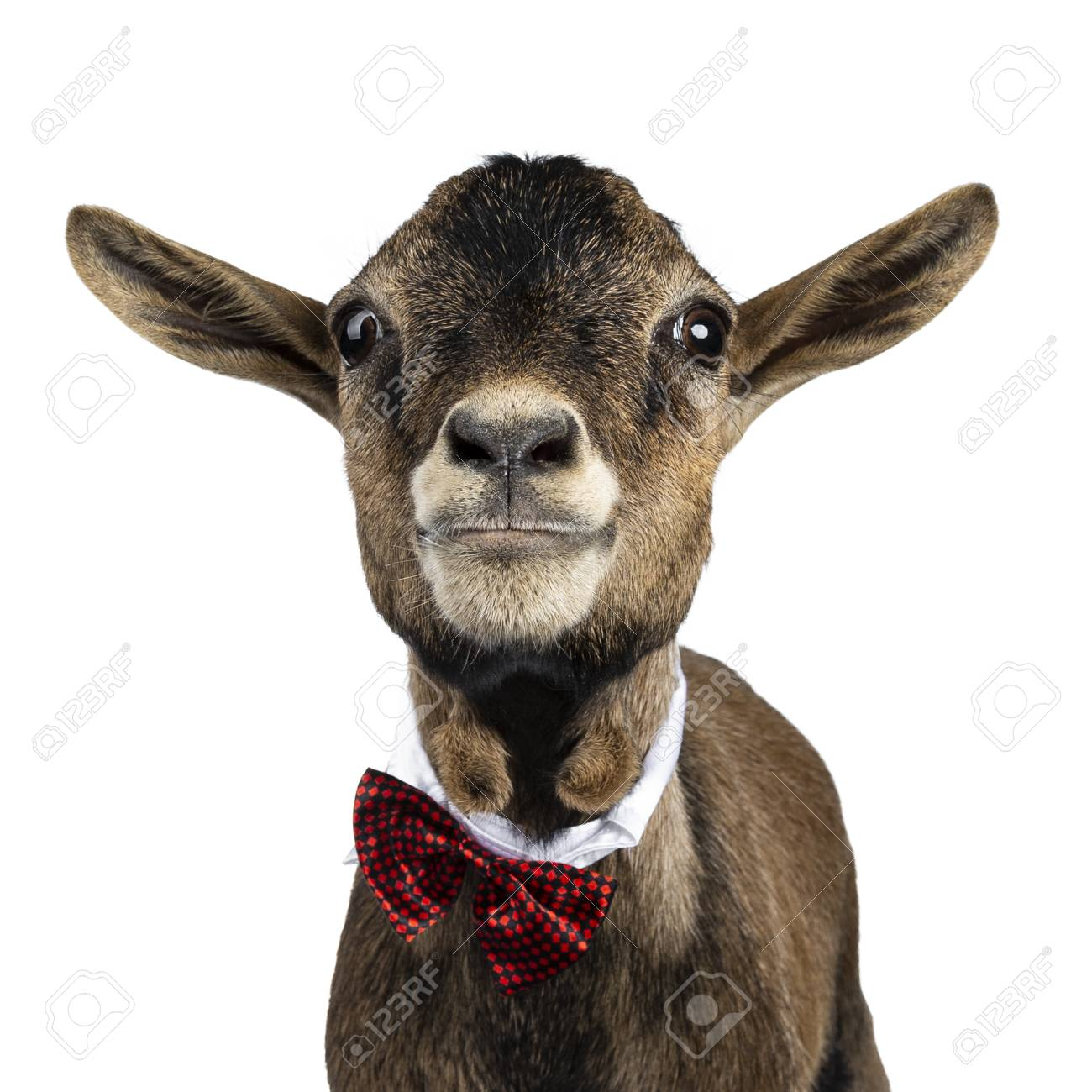 Head shot of funny brown pygmy goat wearing a white collar and red / black checkered bow tie. Looking straight at camera. Isolated on white background. - 121765972