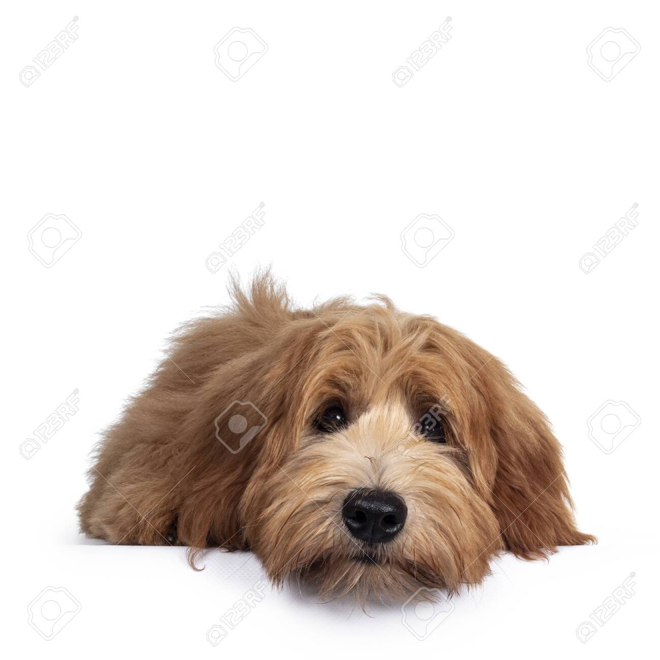 Adorable red / abricot Labradoodle dog puppy, layingflat face down facing front, looking towards camera with shiny dark eyes. Isolated on white background. Mouth closed, head on floor. - 151671211
