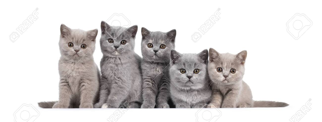 Row Of Five Lilac And Blue Tortie British Shorthair Cat Kittens Stock Photo Picture And Royalty Free Image Image 152977581